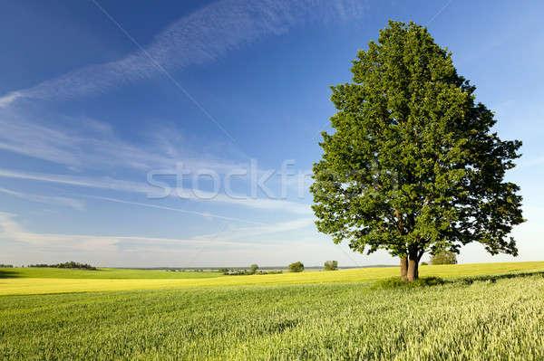 Samotny drzewo dziedzinie rozwój w górę Zdjęcia stock © avq