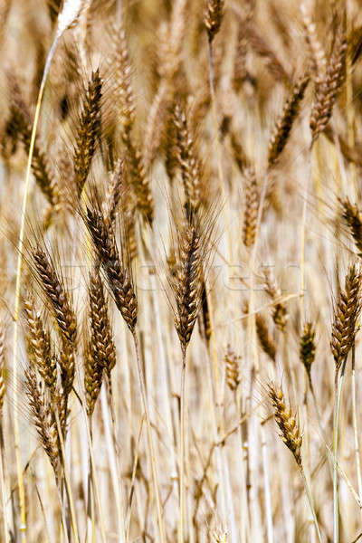 ripened cereals   Stock photo © avq
