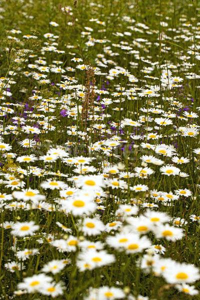 Beyaz büyüyen alan küçük çiçek çim Stok fotoğraf © avq