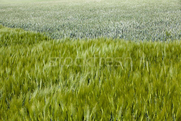 field with cereals   Stock photo © avq