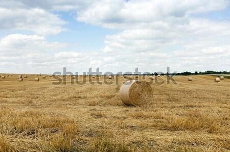 Rolniczy dziedzinie wole zboża żywności krajobraz Zdjęcia stock © avq