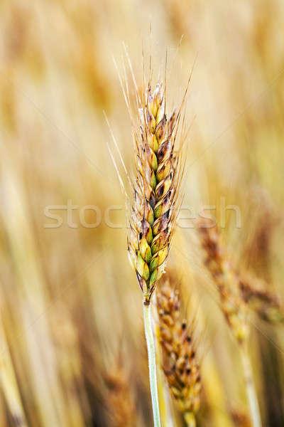 érett búza közelkép lövés természet nyár Stock fotó © avq