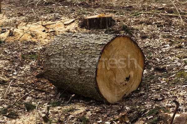 Starych drzew mały drzewo drewna Zdjęcia stock © avq