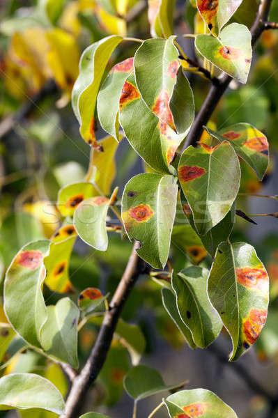 pear foliage in autumn Stock photo © avq