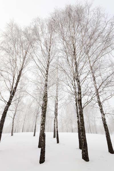 Tél fák téli idény erdő természet fény Stock fotó © avq