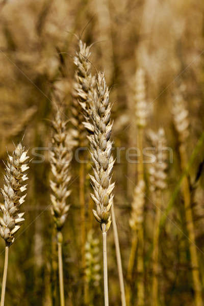 cereals  Stock photo © avq