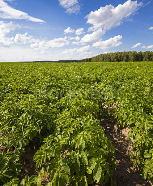 potato field   Stock photo © avq