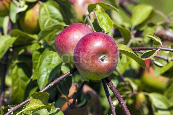Jabłoń ogród dojrzały jabłka rozwój drzewo Zdjęcia stock © avq