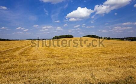 slanted wheat   Stock photo © avq