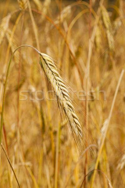 Tahıl kulaklar yaz buğday mısır Stok fotoğraf © avq