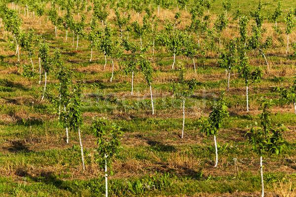 Fiatal tavasz évszak gyümölcsös fa étel Stock fotó © avq