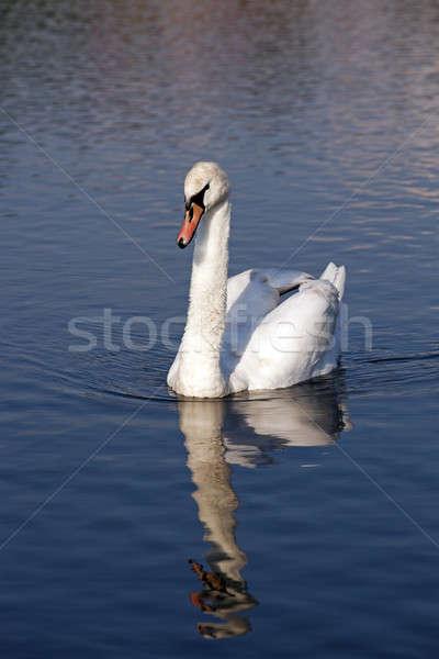 Fehér hattyú lebeg tó közelkép víz Stock fotó © avq