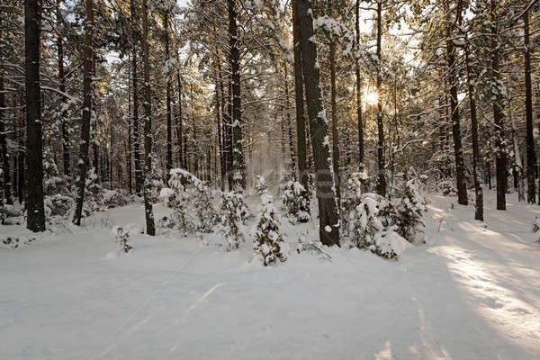 Kış ağaçlar kış sezonu orman doğa ışık Stok fotoğraf © avq