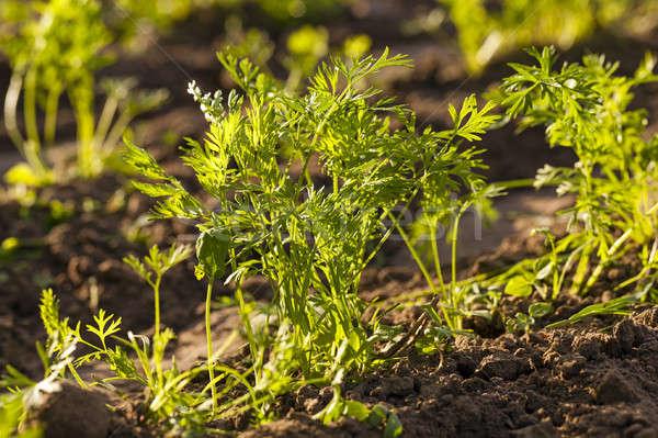 carrot field   Stock photo © avq