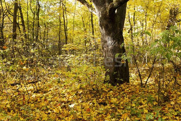 Stock fotó: ősz · fa · fák · növekvő · terület · őszi · idény
