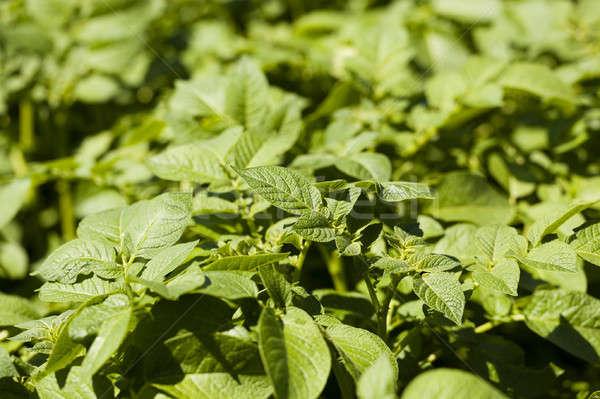 Yaprak patates yeşil yaprakları alan meyve Stok fotoğraf © avq