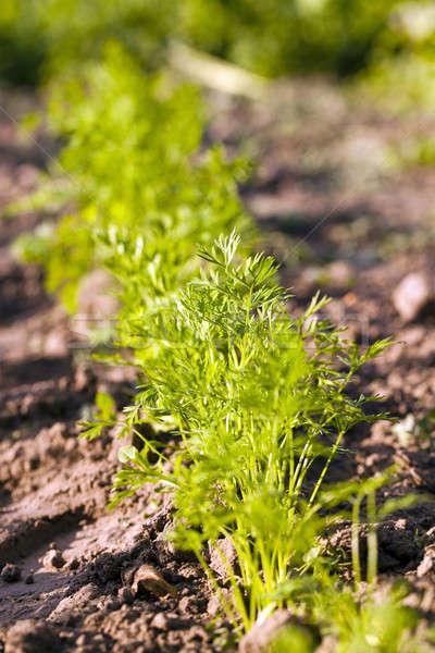 Foto d'archivio: Carote · verde · piccolo · erba · natura
