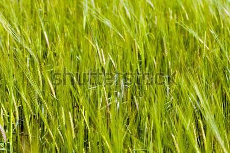 Fülek rozs fiatal zöld közelkép fű Stock fotó © avq