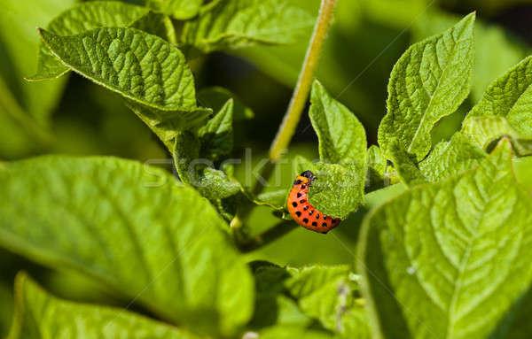 Colorado  beetle  Stock photo © avq