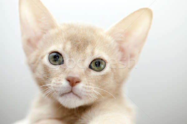 Abyssinian kitten  Stock photo © avq