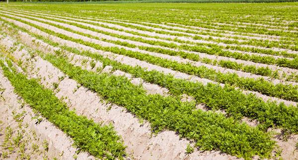 Sárgarépa mező mezőgazdasági nő felfelé répák Stock fotó © avq