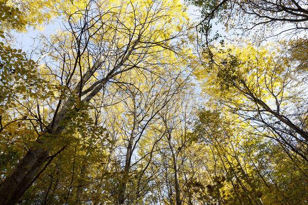 Sonbahar ahşap ağaçlar büyüyen Stok fotoğraf © avq