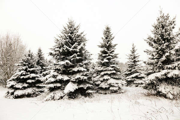 fir-tree in the winter   Stock photo © avq