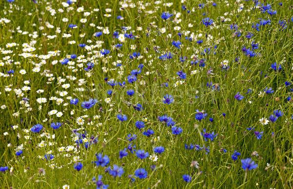 ромашка василек сельский области Blossom Сток-фото © avq