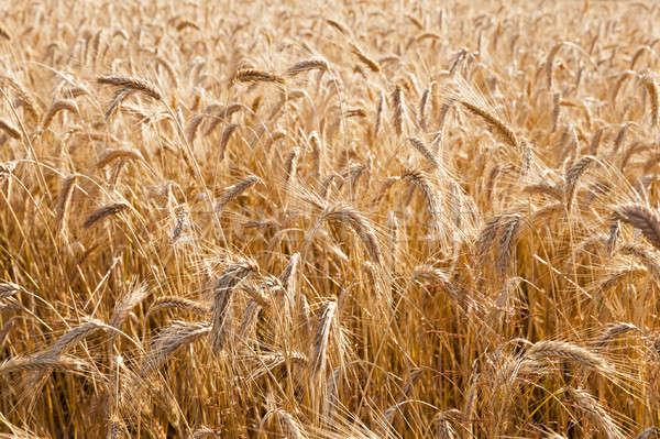 Tahıl olgun gıda çiftlik buğday Stok fotoğraf © avq