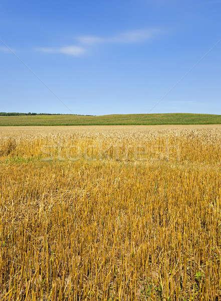 Stok fotoğraf: Tarım · alan · olgun · buğday · gıda · güneş