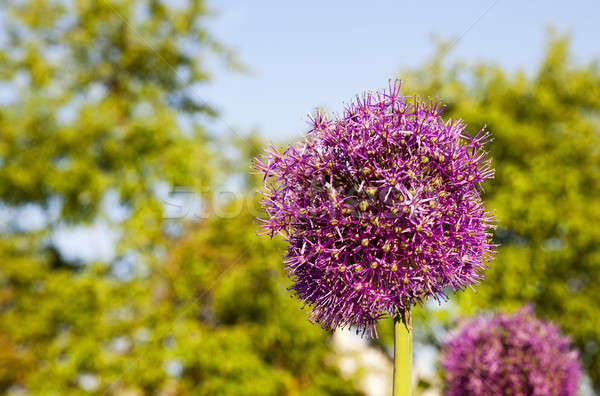 Póréhagyma lila közelkép lövés természet kert Stock fotó © avq