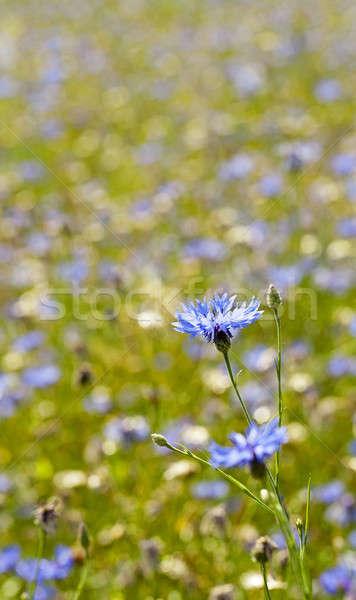 Dziedzinie niebieski rosną summertime rok wiosną Zdjęcia stock © avq