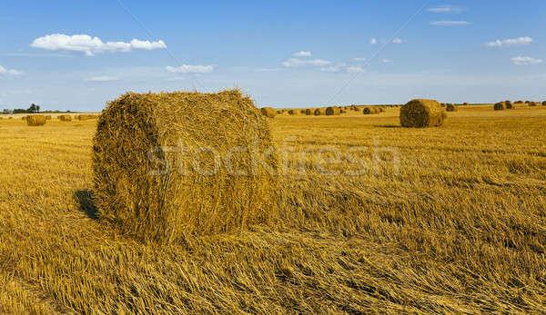 Mezőgazdasági mező nő felfelé aratás búza Stock fotó © avq