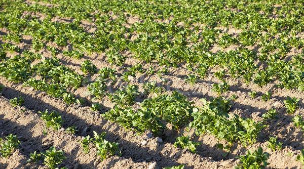 植物 成長 農業の フィールド 草 ストックフォト © avq