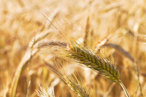 mature cereals   Stock photo © avq