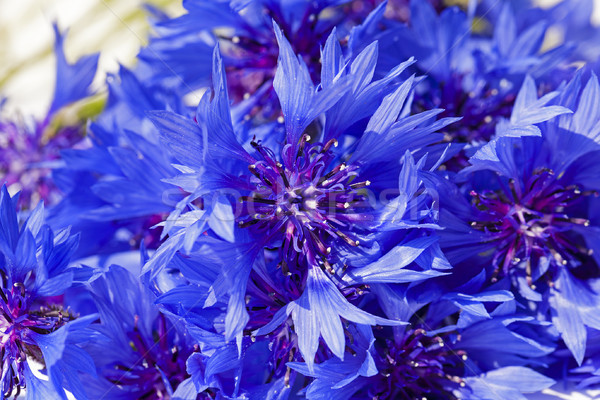 cornflower   Stock photo © avq