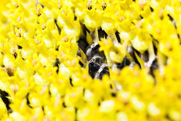 sunflower   Stock photo © avq