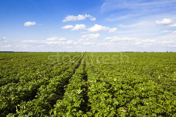 Сток-фото: картофель · сельскохозяйственный · области · расти · вверх · небе