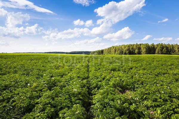 Ziemniaczanej dziedzinie rolniczy rosną w górę ziemniaki Zdjęcia stock © avq