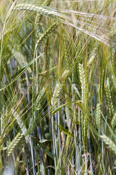 Kłosie żyto niedojrzały lata kukurydza Zdjęcia stock © avq