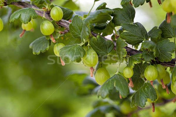 green gooseberry   Stock photo © avq