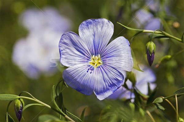 flax flower   Stock photo © avq