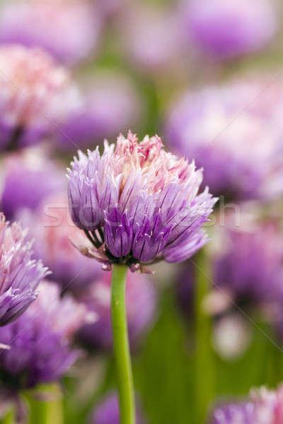 Fokhagyma virág közelkép tavasz természet kert Stock fotó © avq