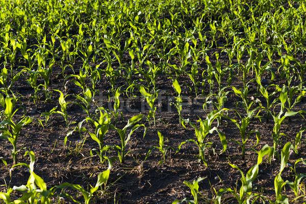 Kukurydza młodych żywności dziedzinie zielone Zdjęcia stock © avq