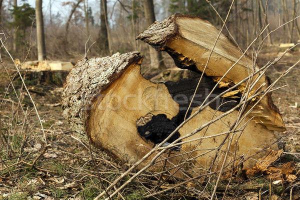 old trees   Stock photo © avq
