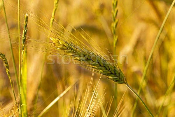 Pszenicy ucha dojrzały wygaśnięcia świetle Zdjęcia stock © avq