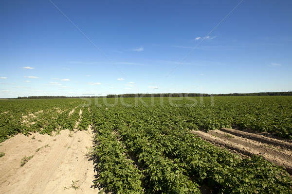 フィールド ジャガイモ 緑 植物 夏 時間 ストックフォト © avq