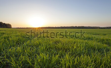 Rolnictwa rolniczy dziedzinie młodych zboża rosną Zdjęcia stock © avq