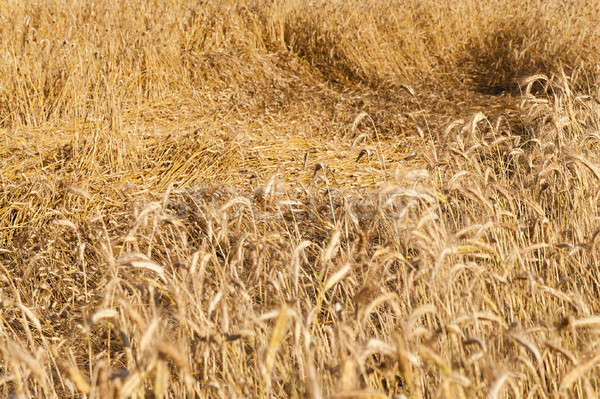 Zboża dojrzały złota roślin rolnictwa Zdjęcia stock © avq