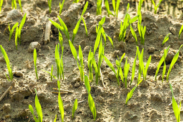 wheat sprouts  Stock photo © avq